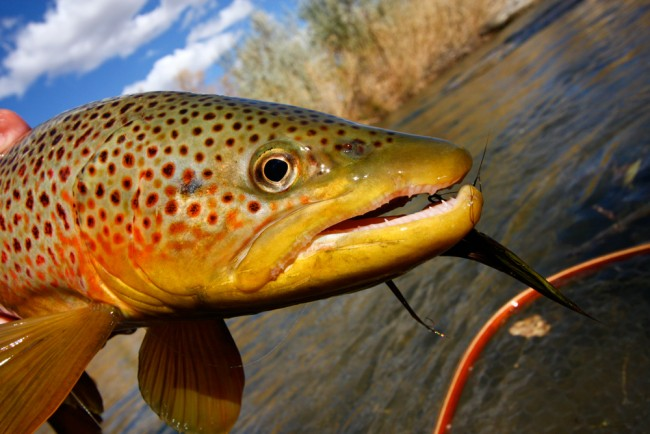 brown trout blues lyrics